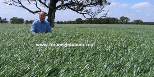 İtalian Ryegrass
