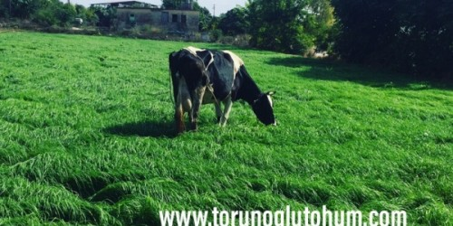 Ot Tipi Teff Grass Yetiştiriciliği